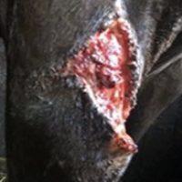 Beenwond paard 1b 2