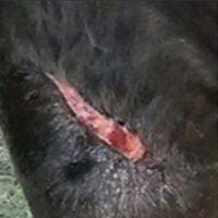 Beenwond paard 1b 5